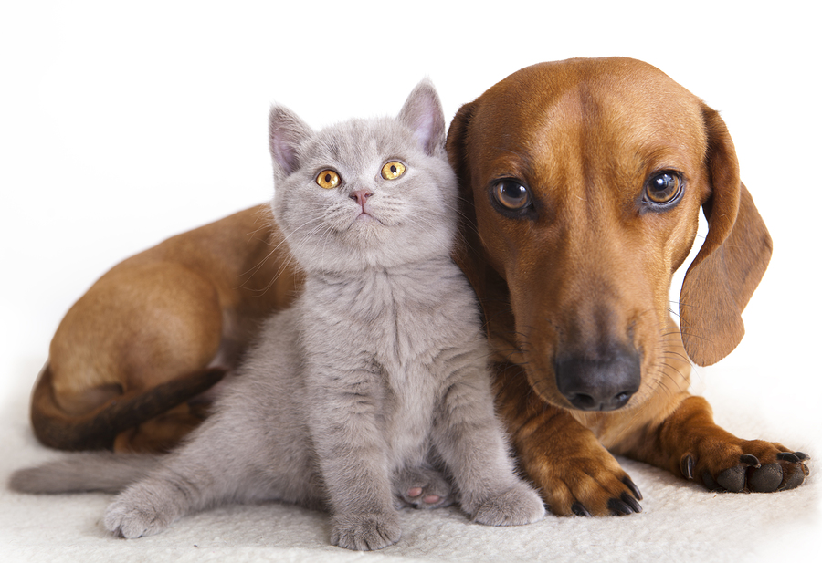 British kitten  and dog dachshund